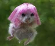 kön hamster